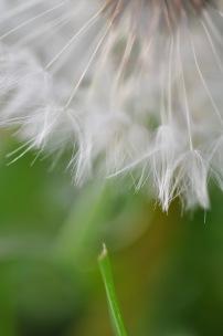 april '10, dandelion, fine art2