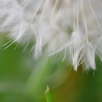 april '10, dandelion, fine art2