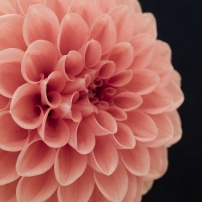 Peach Dahlia Notecard