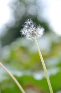 triangle dandelion