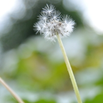 triangle dandelion
