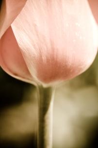 tulip-15